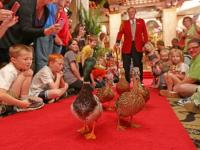 Peabody Duck March - The Peabody Hotel